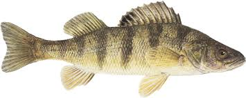 Image result for perch fish