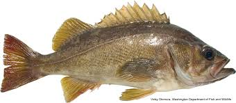 California Marine Sportfish Identification Rockfish