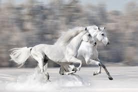 white horses running. Delighful White Two White Horses Running In Snow To White Horses Running U