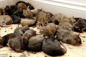 Image result for Photo of vermin