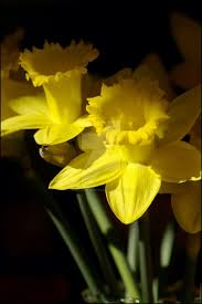 46 best Daffodil images on Pinterest | Daffodils, Spring and ...