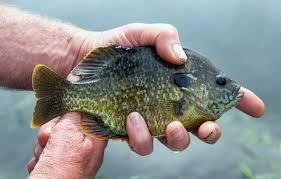 Are Bluegill Fish Dangerous to Humans? The USA Piranha Fish