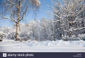 january winter background. Plain January Big Birch Tree With Snow Covered Branches Beautiful Winter Forest  Landscape Cold January Sunny Day Blue Sky Background For January Winter Background 0