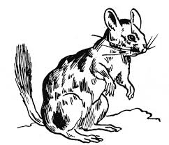 Small Picture Chinchilla coloring page Animals Town animals color sheet