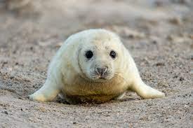 Flauschfalle: Darum ist Robben streicheln gefährlich |