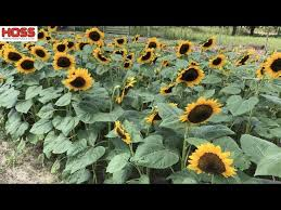 to plant rows of sunflowers