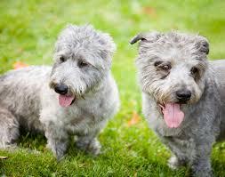 boatswain dog. irish dog breeds [picture gallery] boatswain