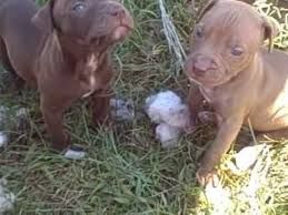 brown red nose pitbull puppies. Fine Pitbull Red Nose Pitbull Puppies 5 Weeks And Parents For Brown Nose Puppies E