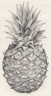 pineapple drawing. thinking of an antique pineapple tat - represent my obsession with old florida .. drawing r