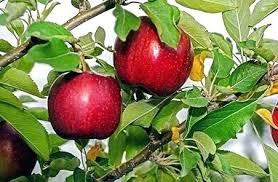 Do Apple Trees Self Pollinate Telpi Co