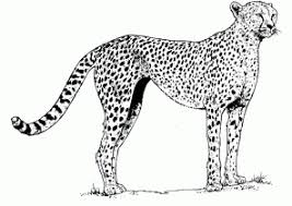 Small Picture Cheetah Coloring Pages Coloring4Freecom
