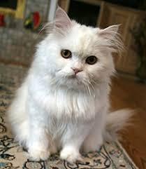 white persian cat. Beautiful Cat Persian Cat And White Cat Wikipedia