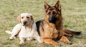 Labrador Size Chart By Age Labrador Retriever Vs German Shepherd Breed Comparison