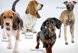 these dogs were first bred to go in holes and chase out rabbits