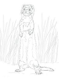 How To Draw A Ferret Coloring Pages For Kids Standing Up Baby Page