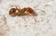 Résultats de recherche d'images pour «photo fourmis pharaon»
