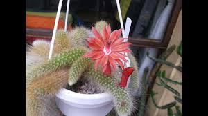 My Cleistocactus <b>colademononis</b> 'Monkey's Tail' <b>Cactus</b> in beautiful ...