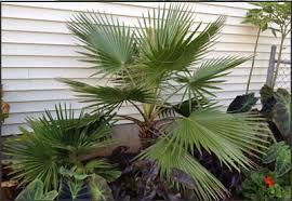 fan palm trees. mexican fan palm tree trees p