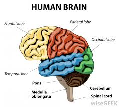 the frontal lobe controls judgments impulses motor functions age problem solving and how people react to situations