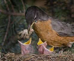 Image result for mother robin feeding babies