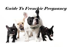 French Bulldog Height Chart Quick Handy Guide To French Bulldog Pregnancy Ourfrenchie