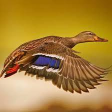 14 Dapper Duck Breeds Mother Earth News