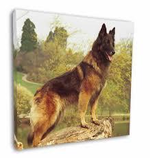 Tervueren Belgian Shepherd Dog 12