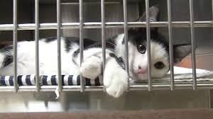 humane society kittens for adoption. Plain Kittens Cats Abandoned Outside Marin Humane Society Up For Adoption Throughout Kittens For Adoption 0
