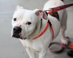 american bulldog pitbull boxer mix. Exellent American Marley A Sweet 5yearold BoxerAmerican Bulldog Mix ADOPTED In  Manahawkin NJ  YouTube Throughout American Pitbull Boxer Mix H