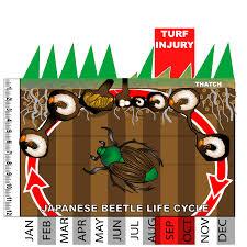 japanese beetles life cycle japanese beetle life cycle