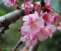 Bunga Sakura Bunga Sakura Di Kebun Raya Cibodas Lipi Mekar Lembaga Ilmu