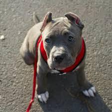 cute blue pitbull puppies. Contemporary Pitbull Bully Pitbull Puppies For Sale Razor Edge Online  On Cute Blue L
