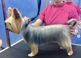 However, the design of the yorkie's hair depend on their owners choice to make their puppy stand out. 24 Best Yorkie Hairstyles For Males Yorkshire Terrier Haircuts The Paws