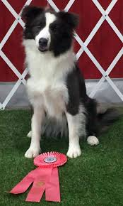 about border collies puppies