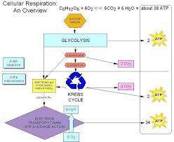 56 Fresh Aerobic Cellular Respiration Flow Chart