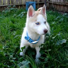 white husky german shepherd mix puppies. Beautiful Husky Have Another Photo Of A Blue Eyed Husky To Celebrate To White Husky German Shepherd Mix Puppies P