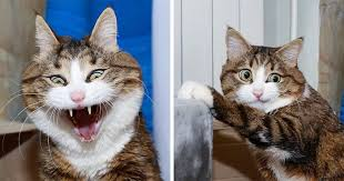 cat. Wonderful Cat This Cat Is Taking Over The Internet With His Hilarious Facial Expressions  Despite Problem Throughout A