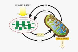 Cell Energy Flow Chart Photosynthesis Interdependence Of