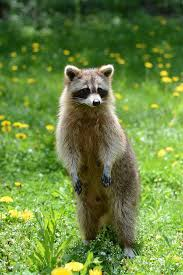 animal garden.  Animal Racoon Animal Garden Summer Raccoon Wild Wildlife And Animal Garden N