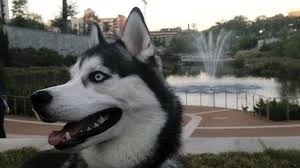 black husky puppies with blue eyes. Modren With White And Black Husky With Blue Eyes Smiling Intended Puppies