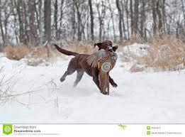 chocolate lab pheasant hunting.  Chocolate Chocolate Labrador Retriever With A Pheasant During Hunt On Lab Pheasant Hunting