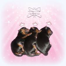 hollingberryyorkies home page teacup yorkie puppies for yorkshire terrier puppies for