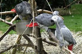 Basic Information Sheet African Grey Parrot Lafebervet