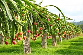Dragon Fruit Plant Care: Guide On How To Grow Dragon Fruit