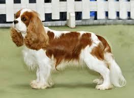 cavalier king charles spaniel full grown.  Spaniel And Cavalier King Charles Spaniel Full Grown Wikipedia