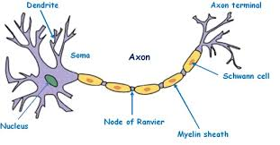 neuron important diagrams for cbse cl 10 biology