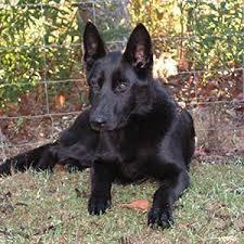 baby black german shepherd.  Shepherd Grow Your Puppy Slow With Baby Black German Shepherd S