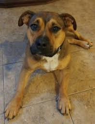 german shepherd boxer mix puppies. Interesting German German Shepherd Boxer Mix For Adoption Sykesville MD Puppies H