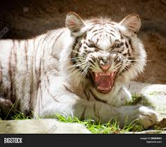 white tiger growling. Delighful White White Bengal Tiger Growling For Tiger Growling H