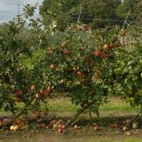 Cordon Apple Trees  Malus Domestica On M26 Rootstock  Centre Fruit Tree Cordons